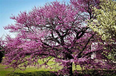 eastern rosebud tree eastern redbud 2