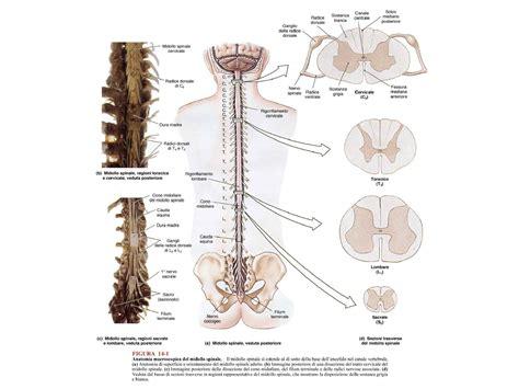 dispense anatomia umana vie di sensibilit 224 e vie motrici dispense