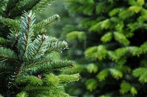 oregon christmas tree growers 6046088 up of a tree farm in oregon the wish factor