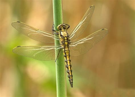 dragonfly facts cool kid facts