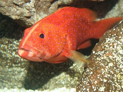 grouper fish underwater expensive most cute miniatus fishing florida saltwater tank water tropical bass ocean groupers guide lure dirty minute