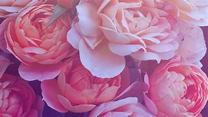 Rose Desktop Gold Backgrounds Wallpapers Background Roses