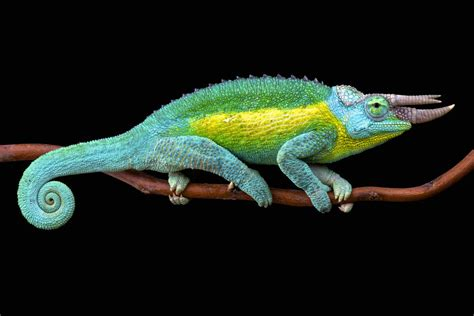 chameleon change color why and how chameleons change their color