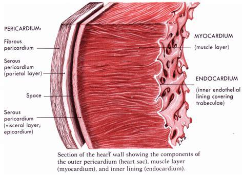 diagram  human heart  blood circulation