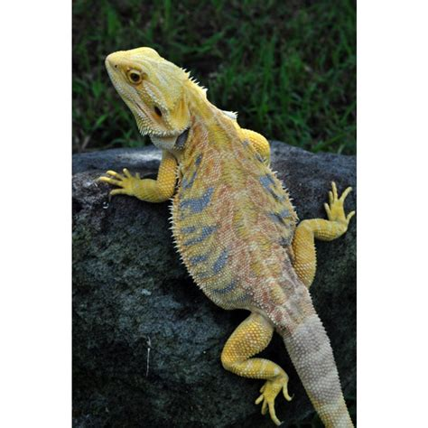 bearded dragon heat l wattage leatherback bearded dragons amazing amazon