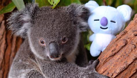 Check Out These Super Cute Pics Of Koya The Koala Named