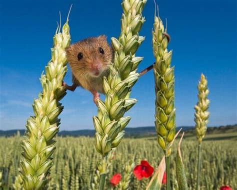 secret life   harvest mice amusing planet
