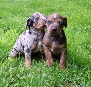 Catahoula Leopard Dog Puppies