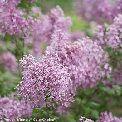lilacs that bloom all summer new noteworthy plants photosynthesis