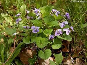 Viola sororia (Common Blue Violet): Minnesota Wildflowers