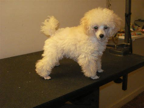 toy poodle haircuts ve included