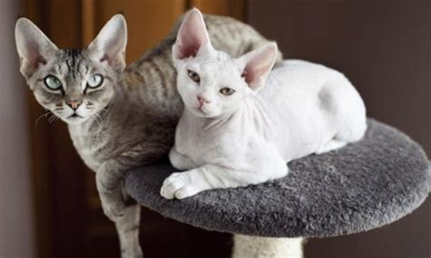 race de chat pot de colle 28 images ch chittagong s king of pop chat de race toutes races en