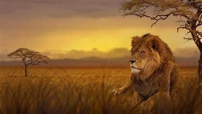 Lion 4k Wallpapers Backgrounds Awesome