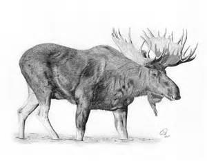 Moose Drawings