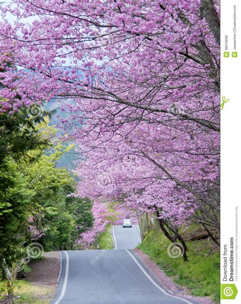 Wuling Backgrounds by Cherry Tree In Wuling Farm Taiwan Royalty Free Stock