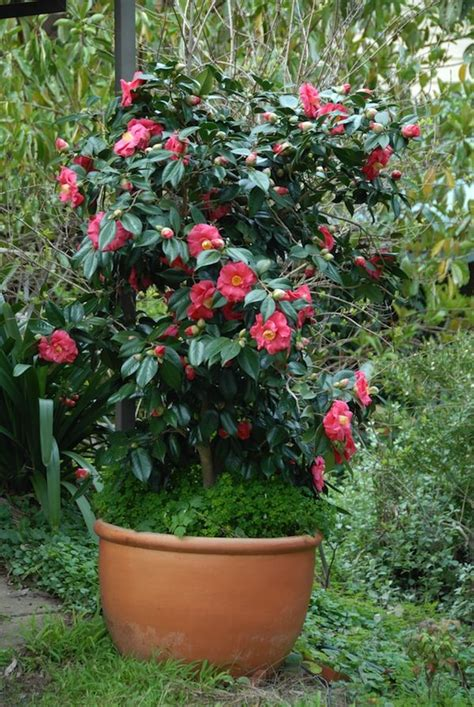 what to plant with camellias camellia guilio nuccio how to grow plants in large pots long term garden pots pinterest