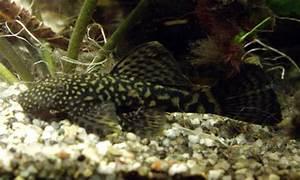 Süßwasserfische Fürs Aquarium : antennenwelse aquarienfische ~ Lizthompson.info Haus und Dekorationen