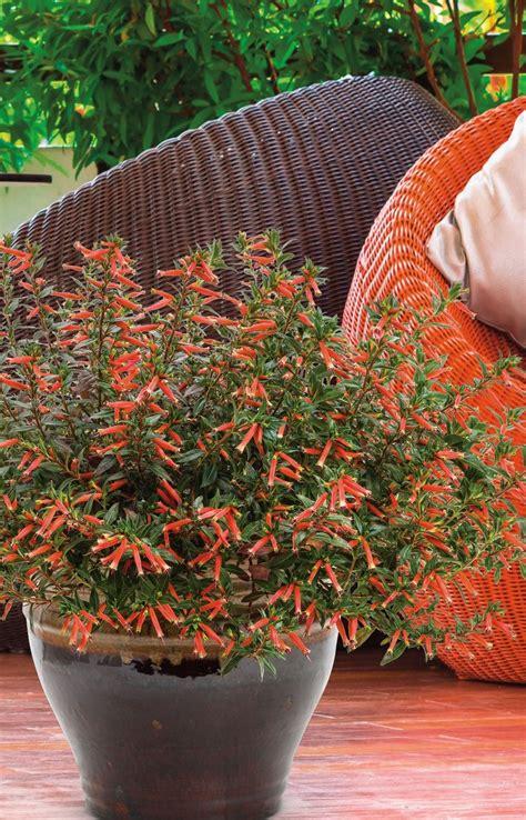 vermillionaire large firecracker plant cuphea hybrid