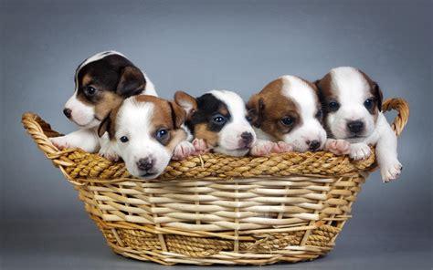 basket  puppies wallpaper animals wallpaper