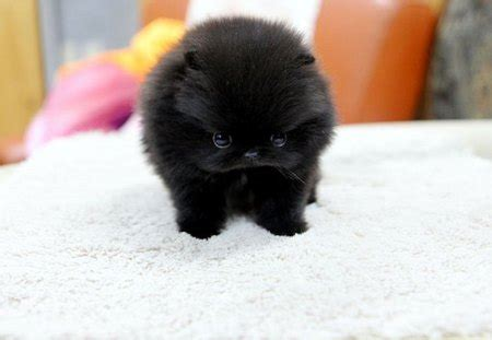 black teacup pomeranian puppy dogs animals background