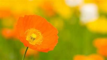 Orange Flowers Flower Wallpapers 4k Yellow Desktop
