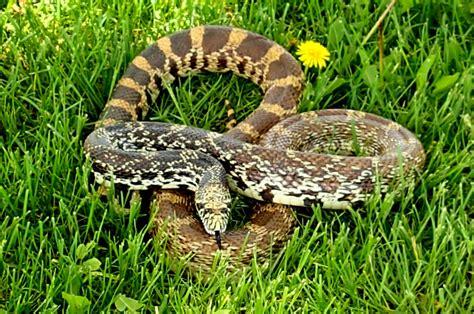 Wisconsin Bull Snakes