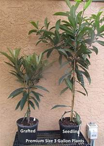 How To Grow Loquat  Growing Loquat Tree From Seed
