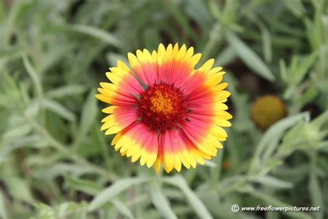 Blanket Flower Picture, Flower Pictures 1783