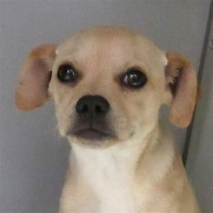 beagles for adoption