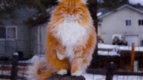 cat facts norwegian forest cat healthy paws pet insurance