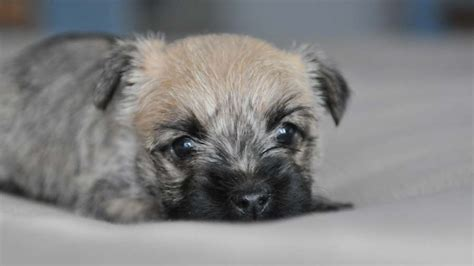 cairn terrier price temperament life span