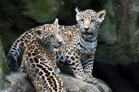 Jaguar Cubs At Houston Zoo Make Public Debut