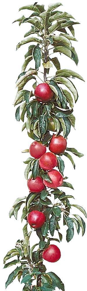 cultiver un arbre fruitier en pot