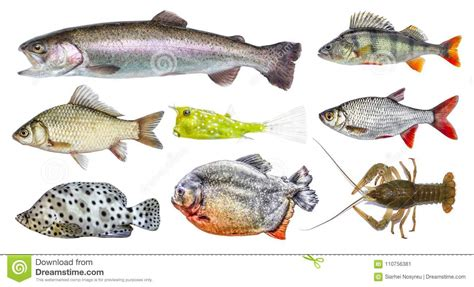 fish side isolated fresh carp collection trout horned european rainbow boxfish roach preview