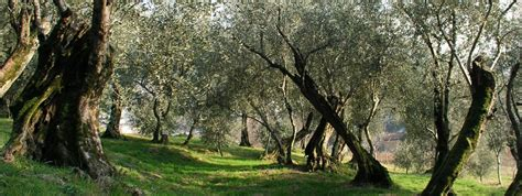 cost of olive trees adopt your olive tree and visit tuscany at low prices with guide in toscana guided tours