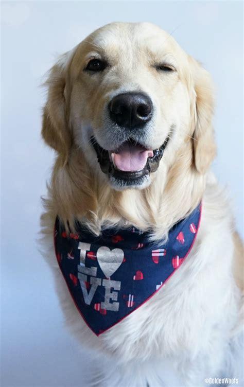 How Do I Look Love Dog Bandana Chewyinfluencer Golden