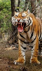 Pin by Jason Harding on Cats | Tiger photography, Tiger ...
