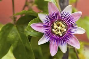 ... Types Of Passion Flower Vines – Varieties Of Passion Vine Flowers Passion Flower