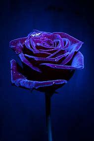Beautiful Blues Purple Rose