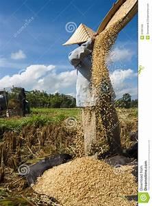 Rice Winnowing In Bali  Indonesia Editorial Stock Image
