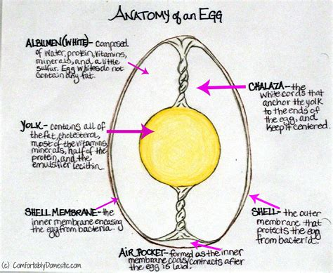 egg anatomy diagram egg get free image about wiring diagram