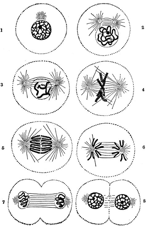 cell division clipart