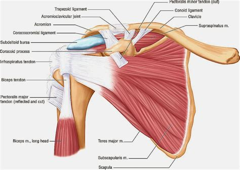 muscles anatomy google search  muscles