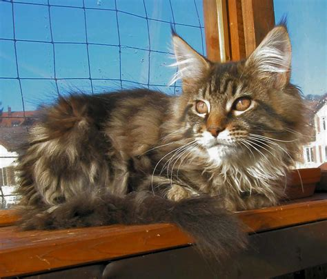 coon cats cat breeds images and information