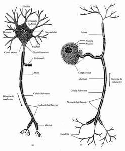 Neuronul  U2013 Unitate De Baza A Sistemului Nervos