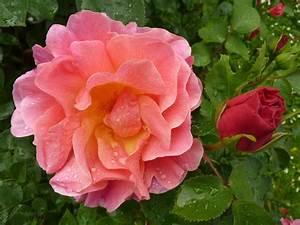 Wilde Triebe Rosen : romantik seelchen wilde rosen ~ Lizthompson.info Haus und Dekorationen