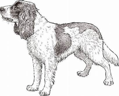 Spaniel Vector Dog Illustrations Sketch Drawing Clip