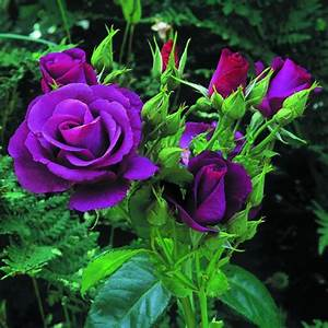 Purple roses | The World's Most Beautiful Flowers ...
