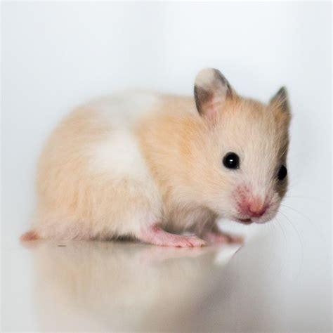 hamster names 25 best ideas about hamster names on pinterest cute hamster names cute pet names and pig pig
