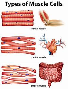 Diagramma Che Mostra I Tipi Di Cellule Muscolari
